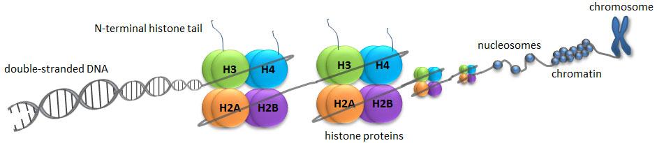 Histone Modifications - What is Epigenetics?