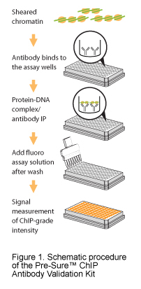 Schematic procedure of the Pre-Sure™ ChIP Antibody Validation Kit