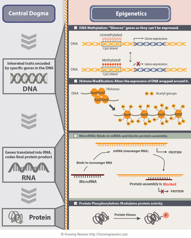 Epigenetic Mechanisms and Central Dogma