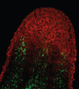 Planarian Neoblasts, Chromatin Immunoprecipitation, and Histone Modifications