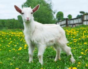 Chinese CRISPR-Cas9 gene edited goats
