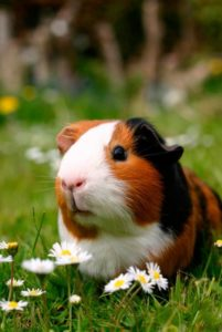 guinea pig epigenetics