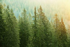 spruce trees epigenetics climate change