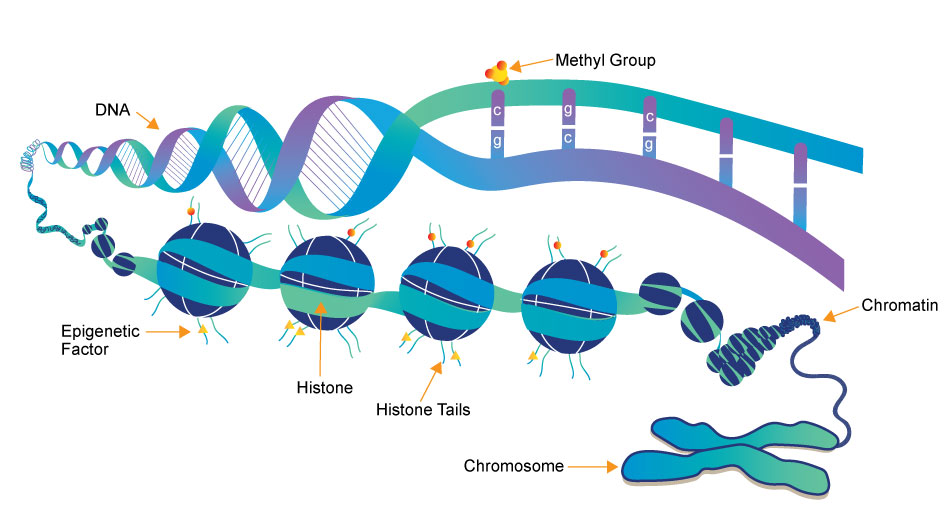 DNA, Chromatin, and Histone Structure with Epigenetic DNA Methylation Marks