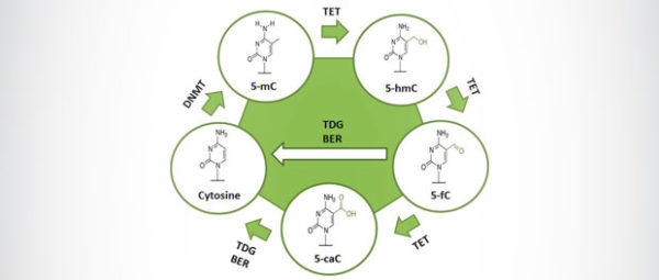 dna methylation cycle
