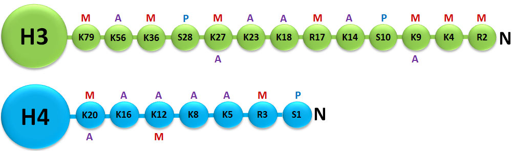 N-terminal tail modifications of H3 and H4. M=methylated, A=acetylated, P=phosphorylated.