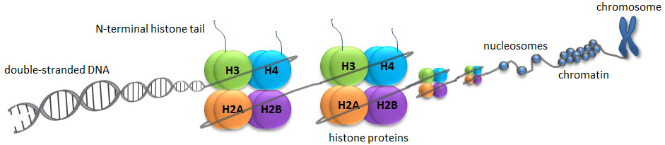 Schematic representation shows the organization and packaging of genetic material. Nucleosomes are represented by DNA (gray)wrapped around eight histone proteins, H2A, H2B, H3 and H4 (colored circles). N-terminal histone tails (blue) are shown protruding from H3 and H4.