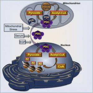 (Graphical Abstract) All the subunits of the mitochondrial pyruvate dehydrogenase complex (PDC) are also present and functional in the nucleus of mammalian cells.