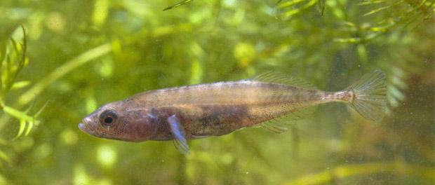 Paternal Care of Stickleback Fish Hints at Epigenetic Influence on Offspring Behaviors