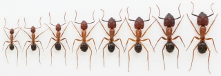 DNA Methylation, Epigenetics Affects Ant Worker Sizes