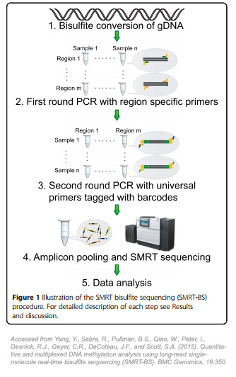 Schematic procedure of the Illustration of SMRT Bisulfite Sequencing
