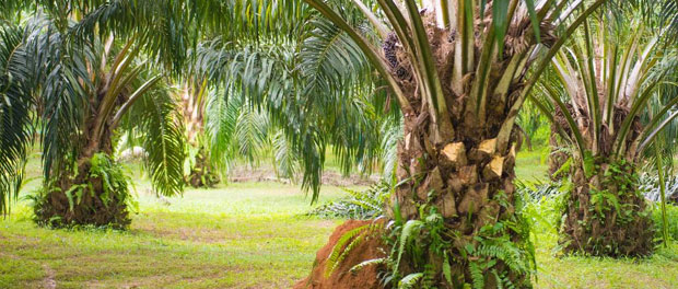 DNA methylation and bisulfite conversion affect oil palm fruit production