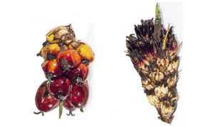 Mantled oil palm fruit