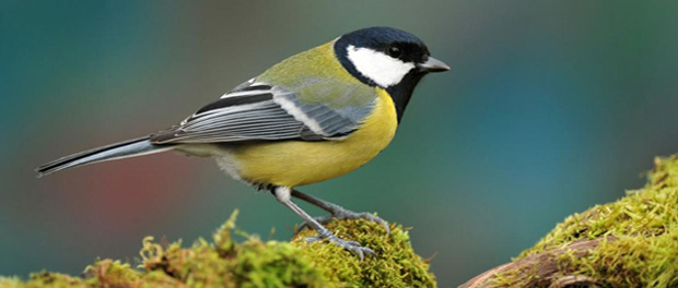 Bisulfite Sequencing used to sequence great tit's methylome in epigenetic study
