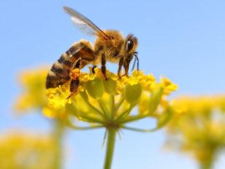 Epigenetics honeybee memory