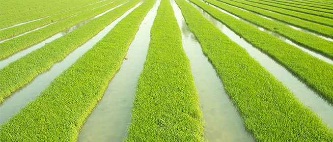 Histone H2A.Z Epigenetics and Rice Seedlings