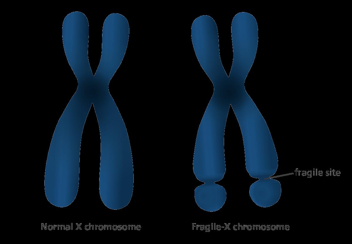 X-Chromosom
