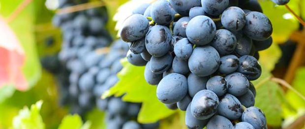 Natural Compounds in Grapes Could Lead Us to An Epigenetic Treatment for Depression