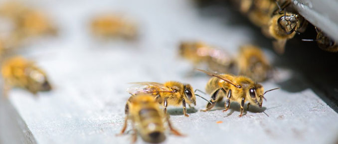 epigenetic study about bees on cocaine and drug addiction