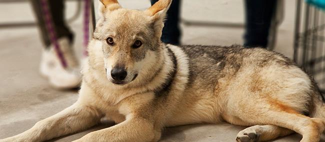 wolf dog domestication epigenetics