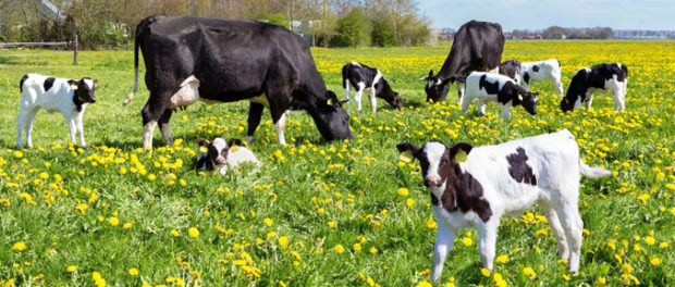 Heat Stress Upsets the Epigenome of Dairy Cattle Offspring
